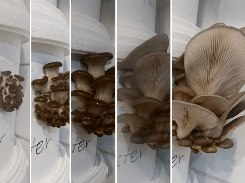 PCC Local Events North Gosford/Wyoming group - Mushroom growing Demonstration